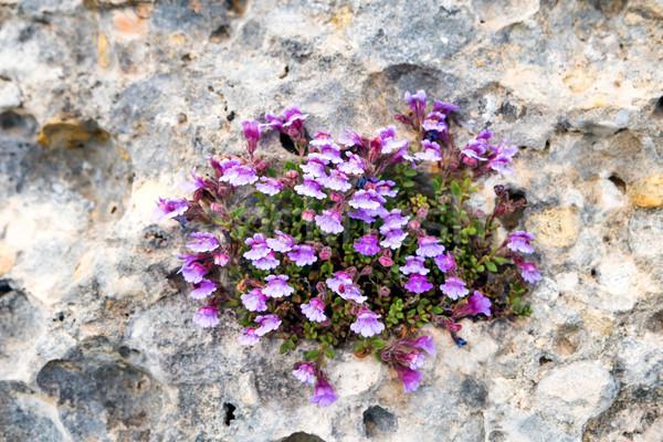バイオレット 花 成長 岩 小 亀裂 ストックフォト © vapi