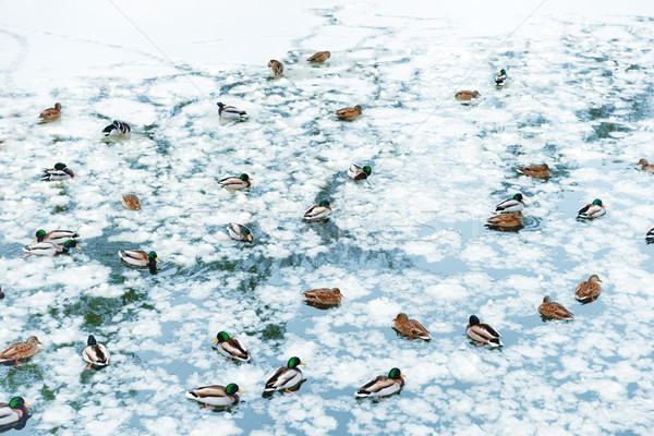 Ducks on frozen lake Stock photo © vapi