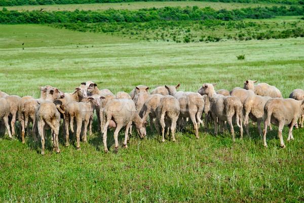 Nyáj birka zöld mező tavasz fű Stock fotó © vapi