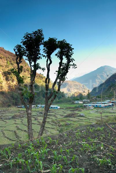 Green rice fields Stock photo © vapi