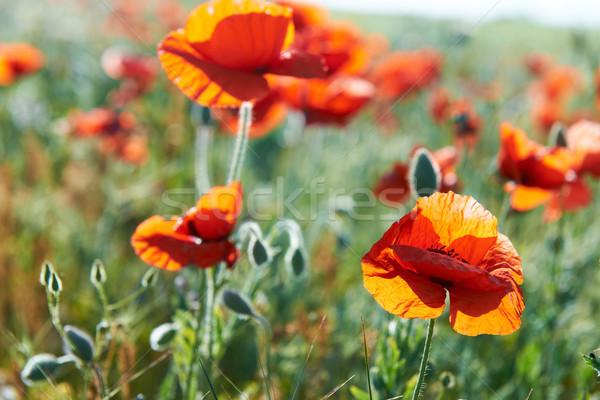 Beautiful red flowers Stock photo © vapi