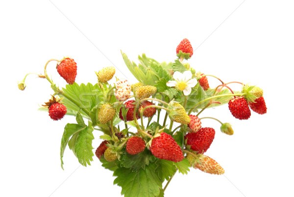Wild strawberries Stock photo © vapi