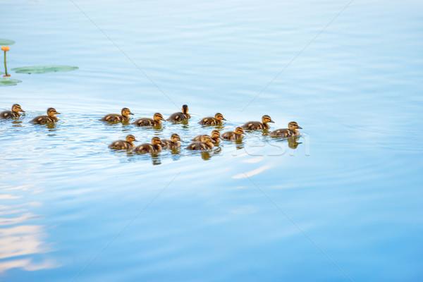 Duck family with many small ducklings Stock photo © vapi