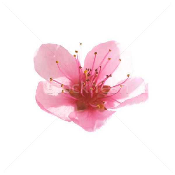 Rózsaszín virág izolált fehér makró lövés természet Stock fotó © vapi