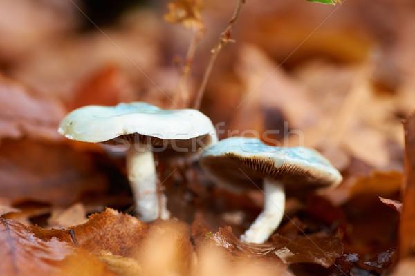 Cogumelo cogumelo venenoso amarelo folhas macro tiro Foto stock © vapi