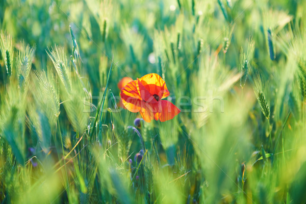 Stock photo: Red poppy on the green field