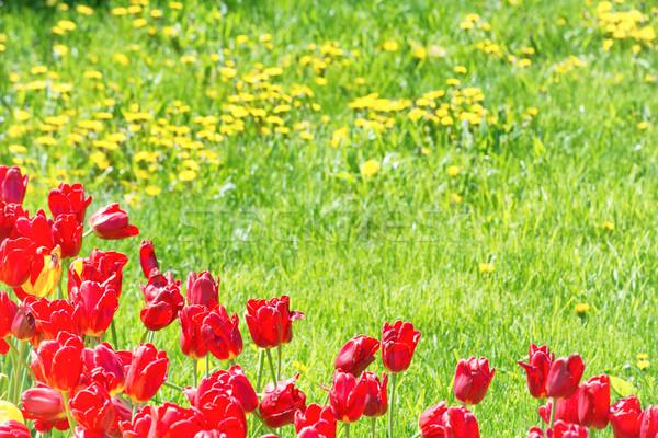 Piros tulipánok mező zöld fű fű természet Stock fotó © vapi