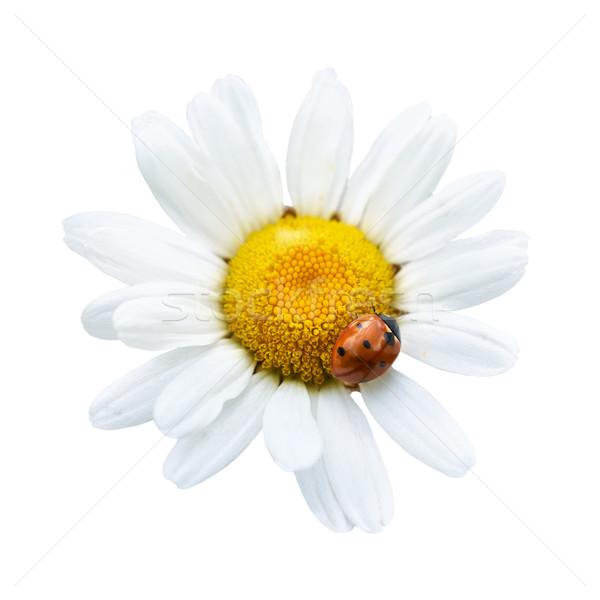Beyaz papatya uğur böceği yalıtılmış çiçek doku Stok fotoğraf © vapi