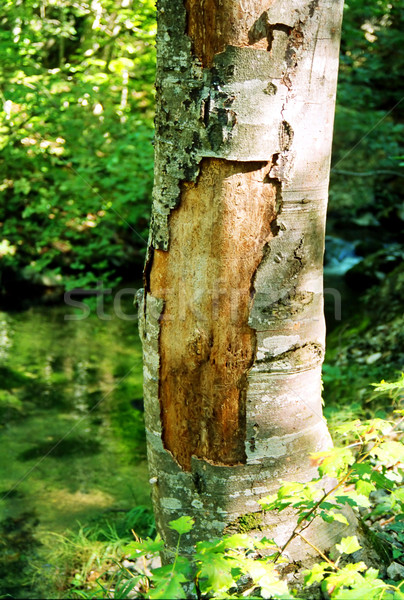 Big tree with the ragged bark. Stock photo © vapi