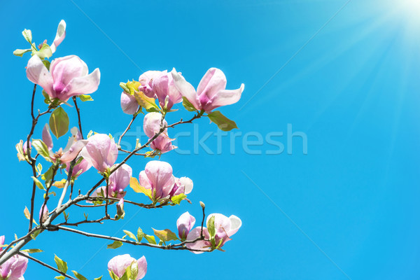 Kwiaty magnolia drzewo Błękitne niebo Wielkanoc niebo Zdjęcia stock © vapi