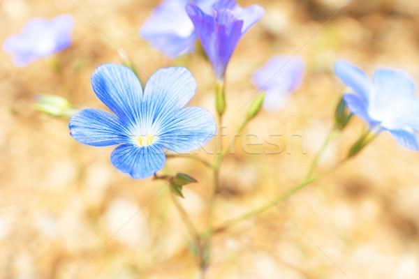 Blue flowers on the sand Stock photo © vapi