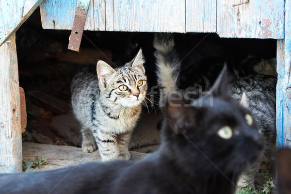Csoport macskák vad fekete szürke háttér Stock fotó © vapi