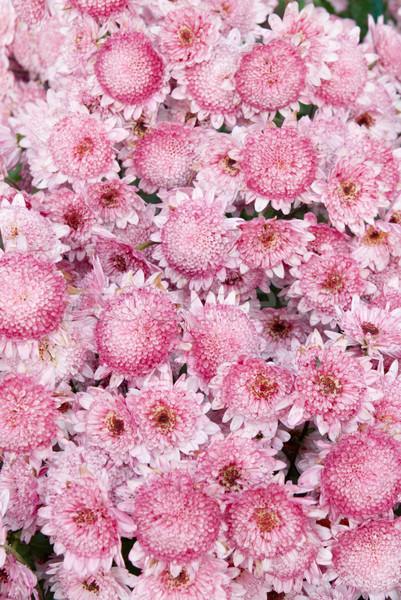 Mező rózsaszín krizantém virág tavasz természet Stock fotó © vapi