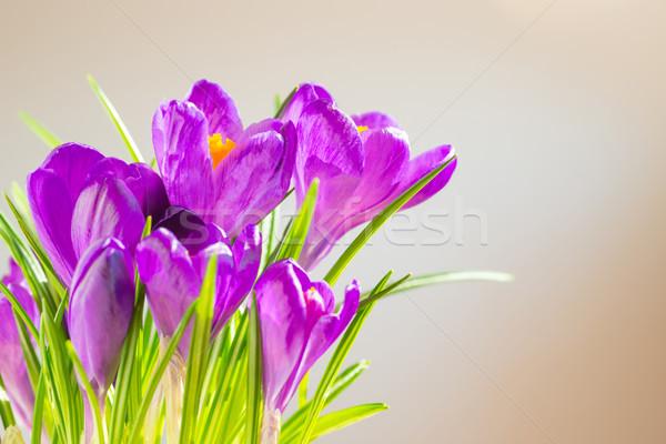 первый весенние цветы букет Purple мягкой Focus Сток-фото © vapi