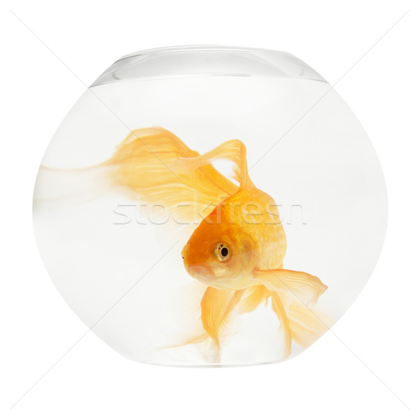 Or poissons aquarium isolé blanche nature Photo stock © vapi