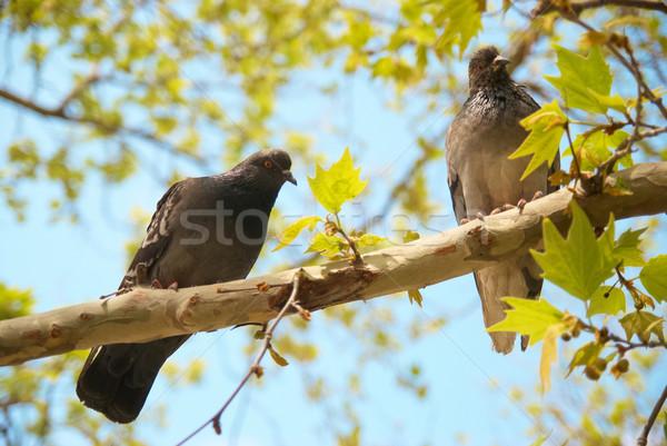 филиала два сидят зеленые листья небе дерево Сток-фото © vapi