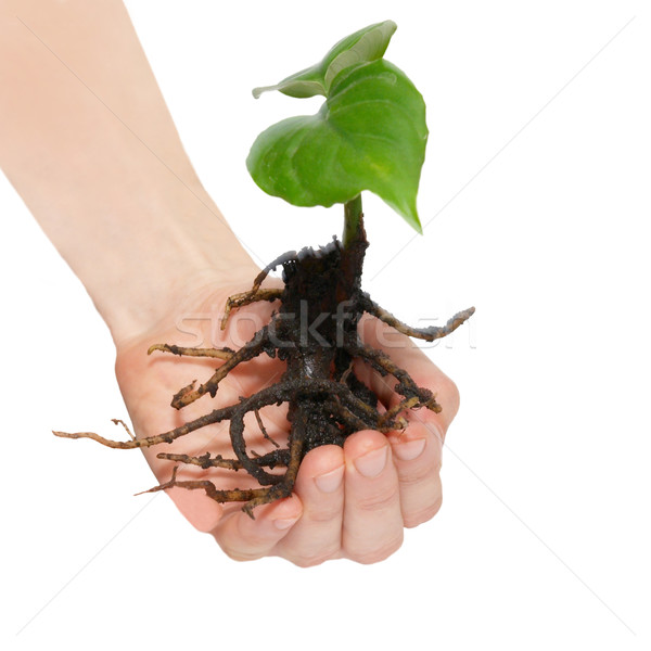 Young green plant in hands isolated on white. Stock photo © vapi