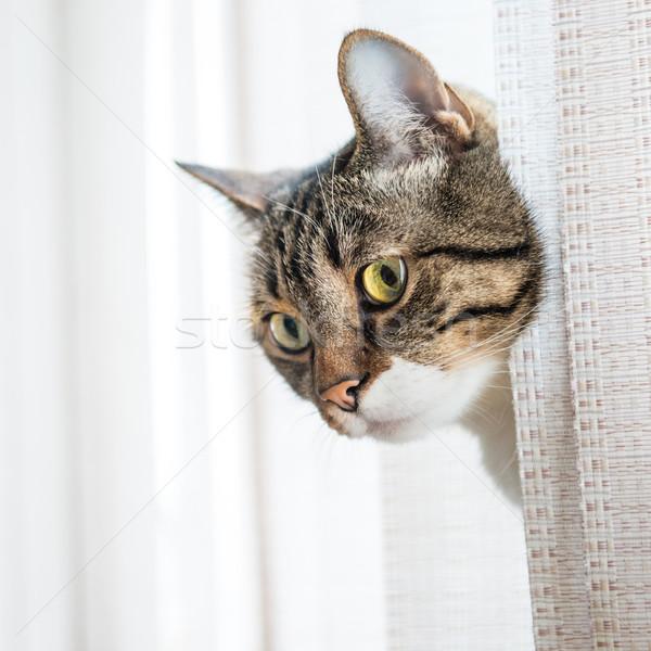 グレー 縞模様の 猫 見える 孤立した ストックフォト © vapi