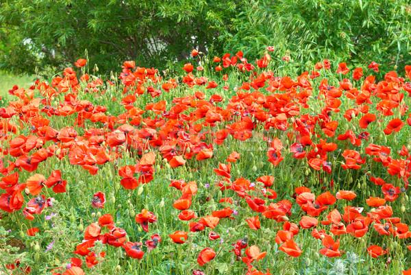 Campo belo vermelho grama verde flor Foto stock © vapi