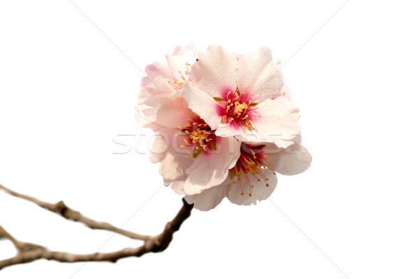 Stock fotó: Mandula · fa · rózsaszín · virágok · ág · izolált