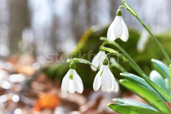 Első tavaszi virágok erdő virág tavasz nap Stock fotó © vapi