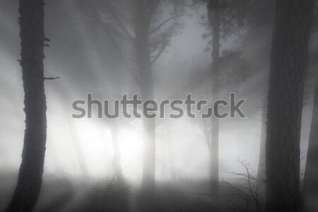 Puslu orman gizem büyük karanlık çam Stok fotoğraf © vapi