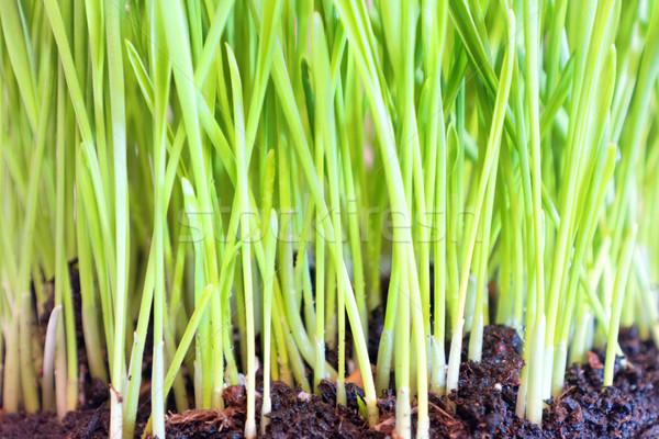 Zielona trawa gleby kroplami wody makro shot wiosną Zdjęcia stock © vapi
