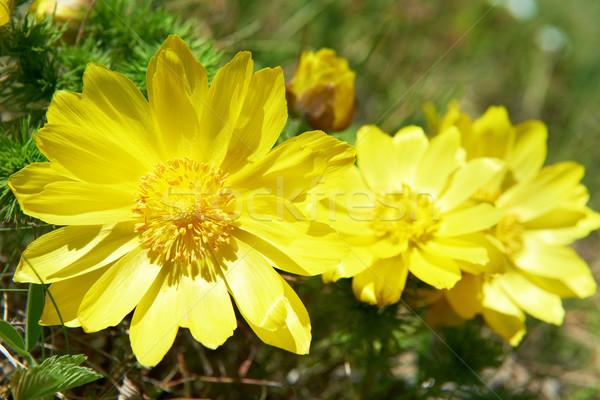 żółte kwiaty zielone dziedzinie kwiat charakter liści Zdjęcia stock © vapi