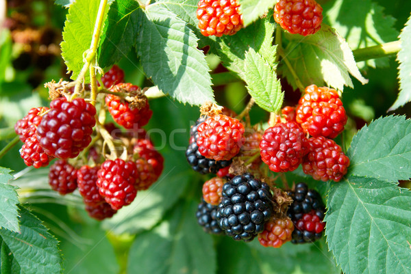 Black and red blackberries close-up, soft focus. Stock photo © vapi