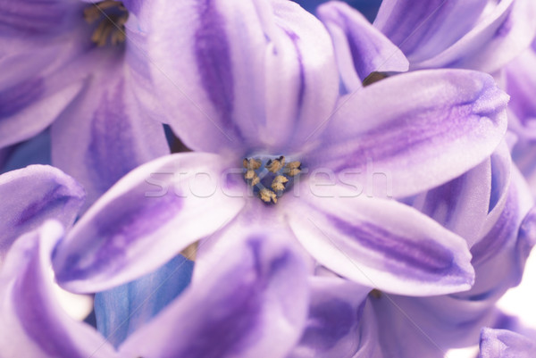 Azul belo flores isolado branco primavera Foto stock © vapi