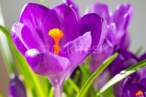 First spring flowers - bouquet of purple crocuses Stock photo © vapi