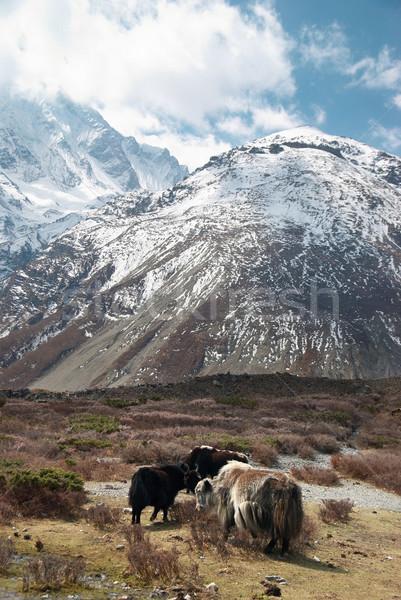 Landscape with yaks and mountains. Stock photo © vapi