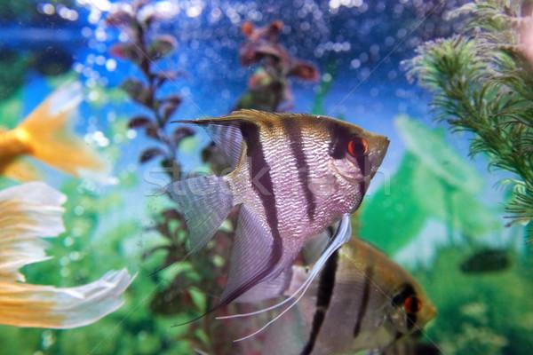 Tropikal balık akvaryum bitkiler su balık doğa Stok fotoğraf © vapi