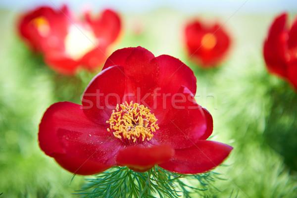 Сток-фото: красивой · красные · цветы · зеленый · области · небе · цветок