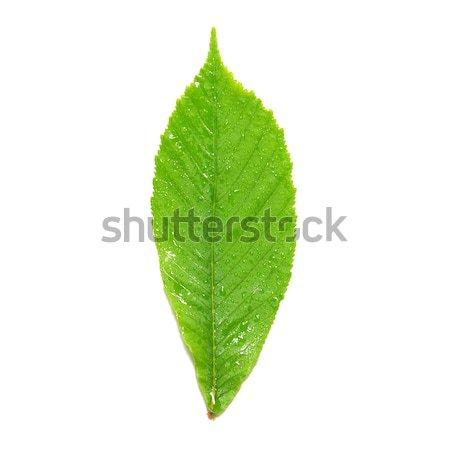Verde castanha folha isolado branco árvore Foto stock © vapi