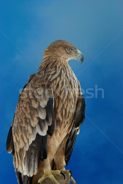 A hawk eagle Stock photo © vapi