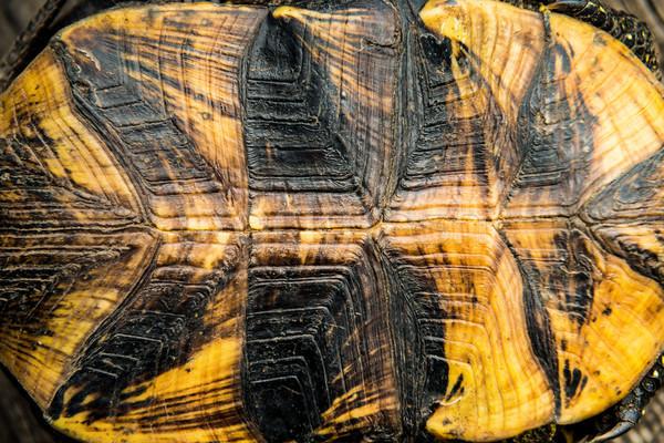 Texture of turtle shell Stock photo © vapi