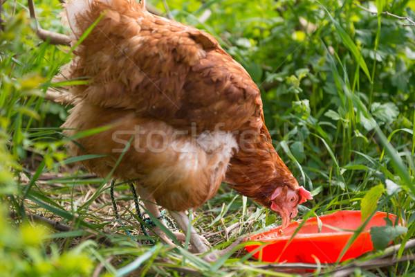 Turuncu tavuk tavuk yeşil ot bahar Stok fotoğraf © vapi