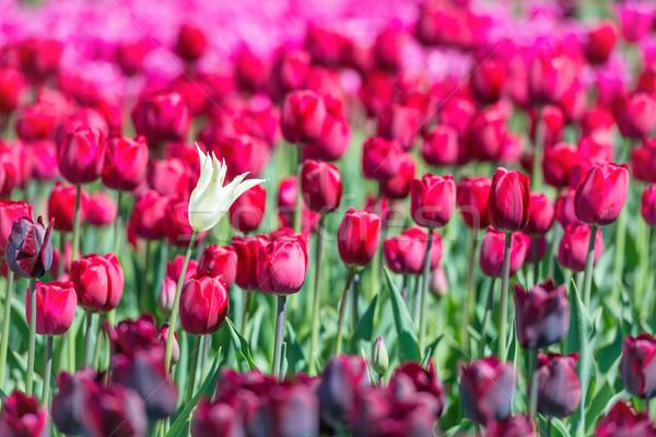 Sok sötét piros tulipánok mező virágmintás Stock fotó © vapi