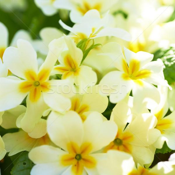 春 黄色の花 花 草 森林 太陽 ストックフォト © vapi
