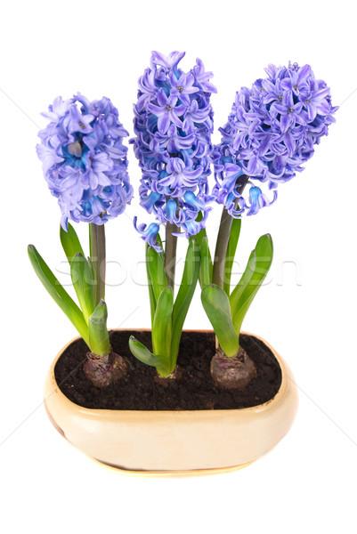 Azul flores folhas verdes vaso isolado branco Foto stock © vapi