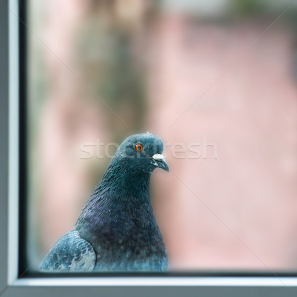 Curious fat pigeon Stock photo © vapi