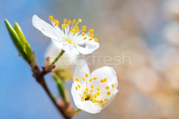 Stockfoto: Voorjaar · witte · lentebloemen · pruim · boom