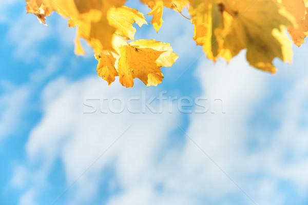 Sarı sonbahar yaprakları mavi gökyüzü beyaz bulutlar gökyüzü Stok fotoğraf © vapi