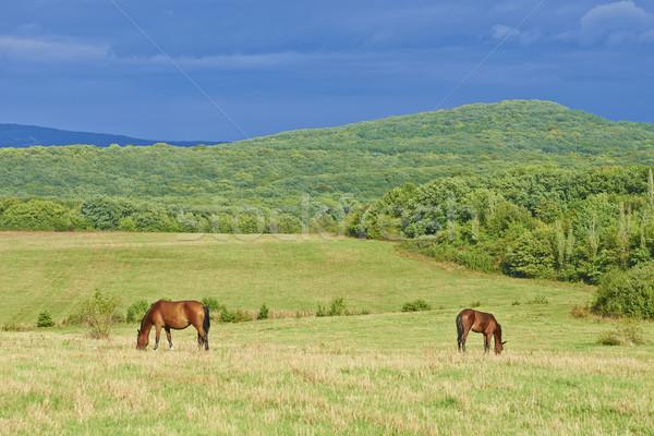 Dark bay horses Stock photo © vapi