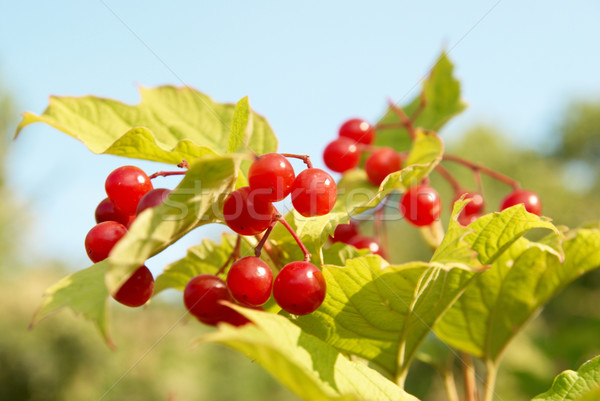 Bunches of red snowball tree berryes Stock photo © vapi