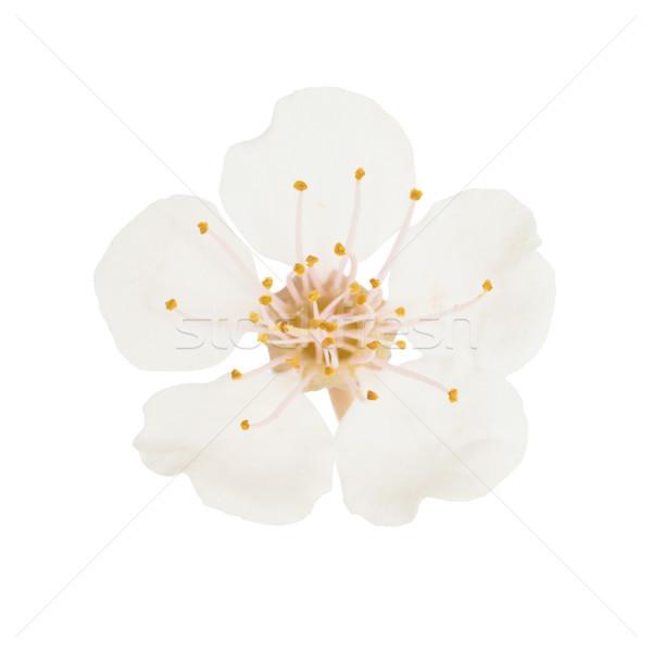 Witte bloem geïsoleerd witte kers boom macro Stockfoto © vapi