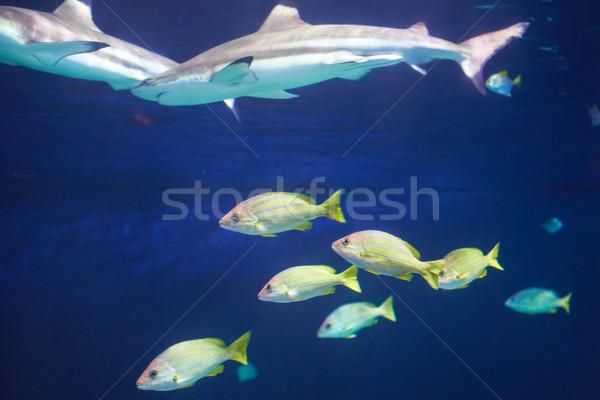Caribbean reef shark  Stock photo © vapi