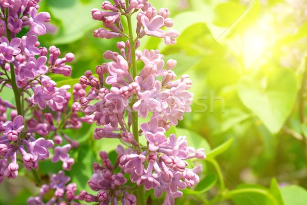 Fioletowy liliowy oddziału zielone liście tle przestrzeni Zdjęcia stock © vapi