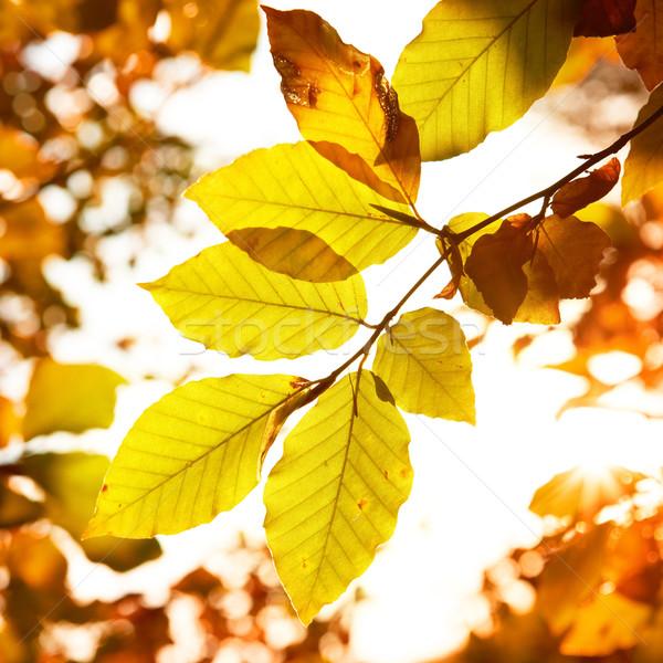 Autumn leaves Stock photo © vapi